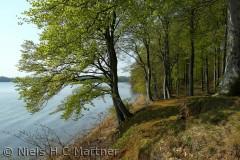Bøgeskoven i Middelfart når helt ned til vandkanten. Foto fra Maj måned.