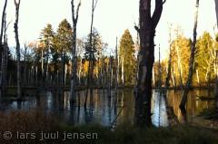 Fra en travetur i Gribskov i det mest fantastiske efterårsvejr. Birketræerne står og drukner, og det hele ligner kulissen til en ordentlig røvfuld rollespil og den slags.
