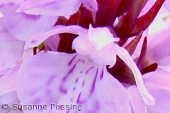 Dactylorhiza maculata (plettet gøgeurt), Hanstholm Vildtreservat
