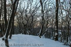 Lave snedækkede bøgetræer ved solnedgang. ninarlarsen@yahoo.dk