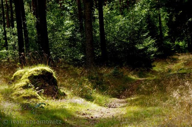 Lysets indtrængenden i Fyrreskoven, hvor mossen vokser i en bunke mellem lyng og græs