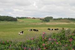 Køerne nyder solen,en eftermiddag i Vestervig, hvor dansk kan det blive?