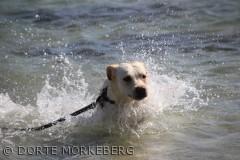 Vandhund som lige plasker en tur i havet på stranden ved Camp hverringe den 23 juli 2012
