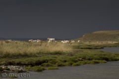 Hvilende køer v. Bolund, Roskilde fjord