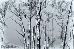 En ensom krage i Pinseskoven på Vestamager.