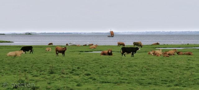 Strandeng ved Roskilde inderfjord med køer og vikingeskib