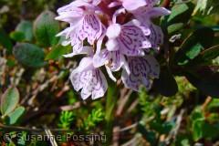 Dactylorhiza maculata (plettet gøgeurt), du stod dér i hundredvis i Hanstholm reservatet -