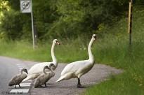 Svaner på vejen