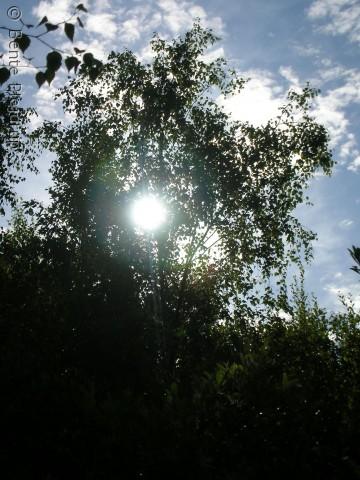 Træ i hundeskoven i Hedeland