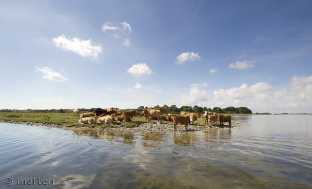 Man skulle være ko på enegn. Her Teglhaven i Roskilde fjord