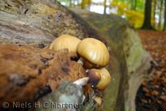 Svampe finder man masser af i skovene omkring Middelfart.