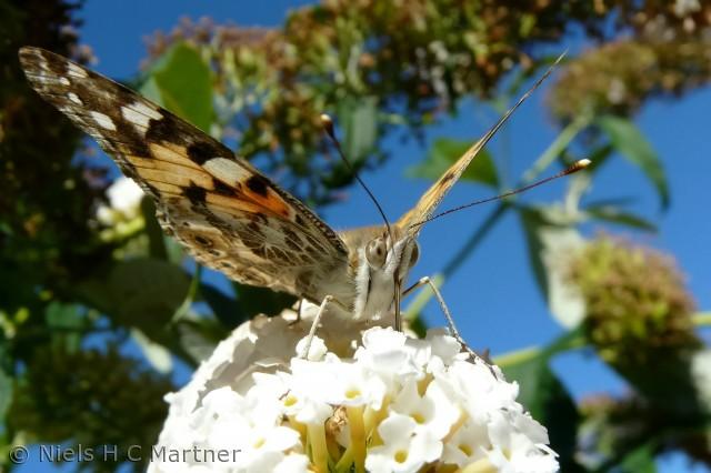 Sommerfugl på sin busk. Fotograferet i Strib August 2012.