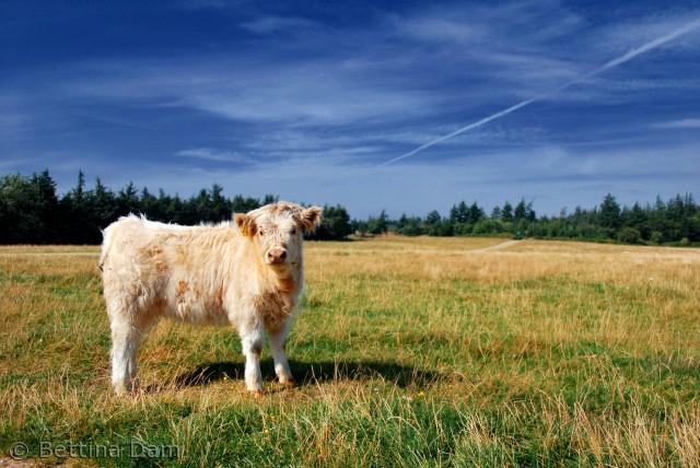Naturen i marbæk hvor køerne går frit.