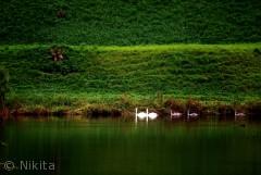 svane familie i Kastellet