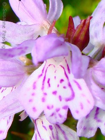 Dactylorhiza maculata (plettet gøgeurt) i al sin tætte pragt, Hanstholm Vildtreservatet