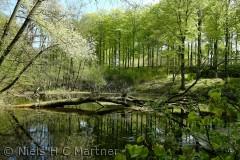 En lille sø i Hindsgavl skoven ved Middelfart i Maj 2012, lige efter at bøgen er sprunget ud.
