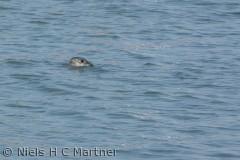 Sæler finder man også i Lillebælt. Her er en i vandet ud for Middelfart.