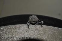 Dværgflagermus