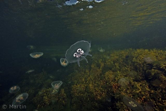 Et nat-snorkeldyk ved Hullehavn er flot også om efteråret, når der er fyldt med vandmænd. I den lille bugt så vi også ørreder og skrubber.