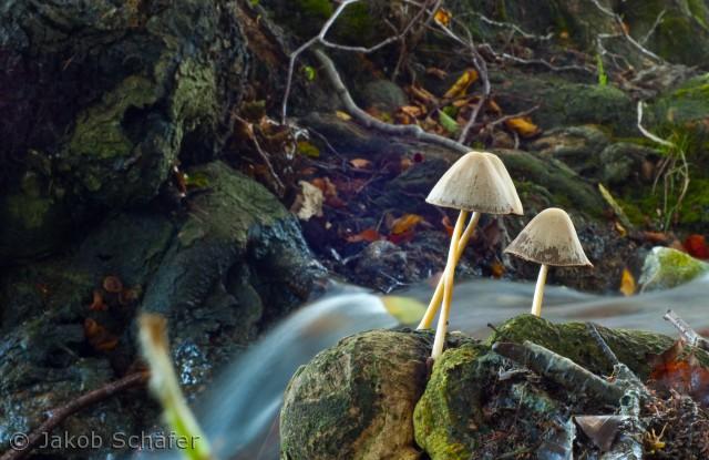en svamp ved en lille bæk i vandemarslot skove, Tåsinge