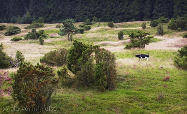 Billedet er taget i starten af september 2012. Jeg opdagede den ensomme ko i dette fantastiske landskab nær byen Vrads i søhøjlanden. Billedet er taget på stativ. Canon 7d, 85mm