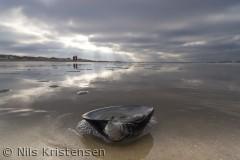 Skal af molboøsters på stranden ved Nørre Vorupør