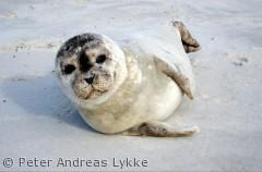 Spættet sæl tager et hvil på stranden,Blåvandshuk, Nationalpark Vadehavet