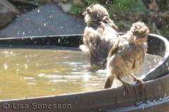 Det var ikke alle fugleungerne, der synes det var alle tiders med en vandgang, men de havde jo også dun, der blev noget så våde og tunge.