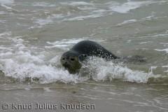 Sælerne på Skagens Gren er som regel meget tillidsfulde - de har med tiden lært at mennesker her ikke er trussel.