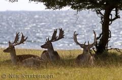 Dådyr på Romsø v. Hindsholm