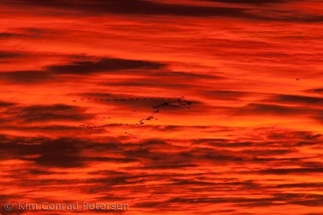 En flok gæs flyver over Karrebæk Fjord tidligt om morgenen d. 24. september 2012
