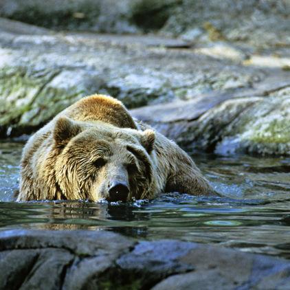 Badande björn, Skansen