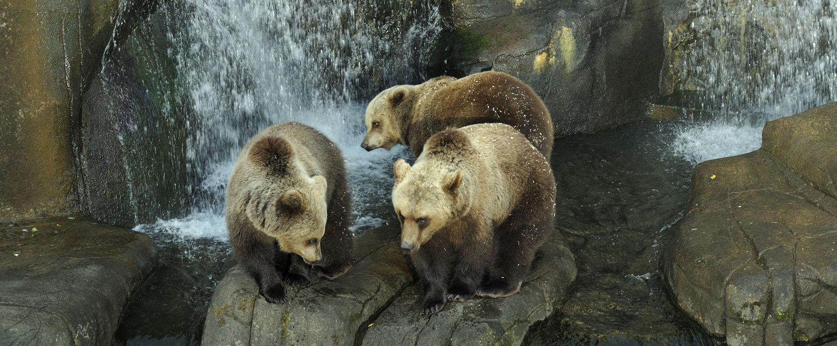 Björn på Skansen