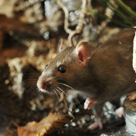 Råtta på Lill-Skansen