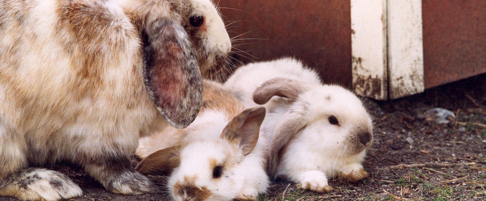 Kaniner på Lill-Skansen