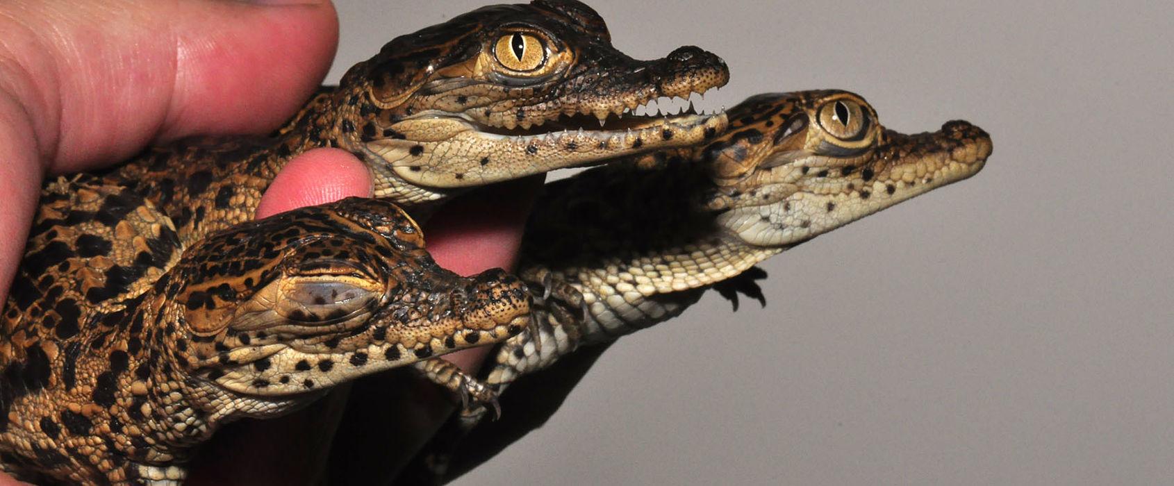 Krokodiler på Skansen-Akvariet