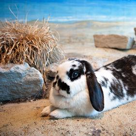 En fläckig kanin på Lill-Skansen