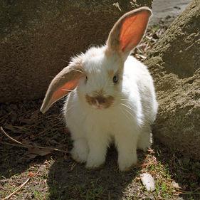 En vit kanin