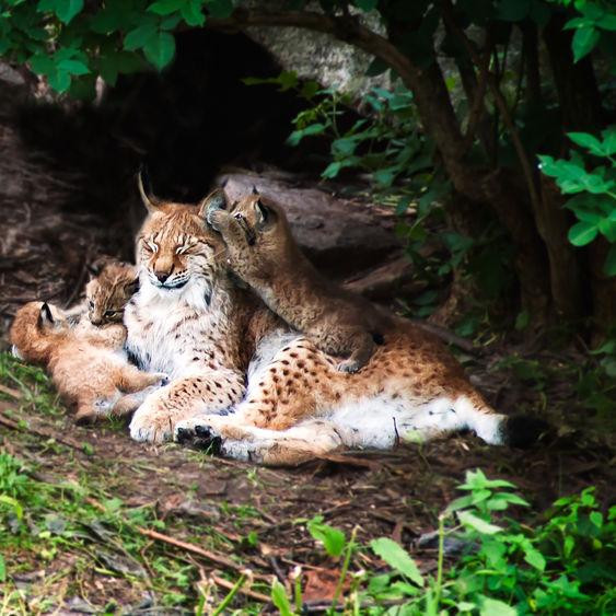 Lodjurshona med ungar