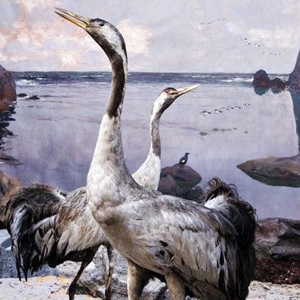 Uppstoppade fåglar i Biologiska museet