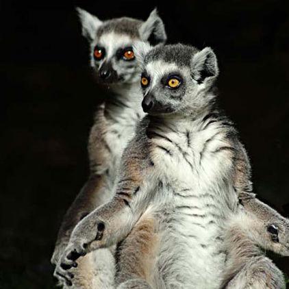 Lemurer på Skansen-Akvariet