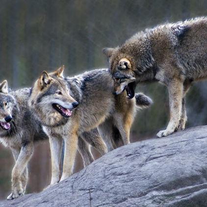 Vargar på Skansen