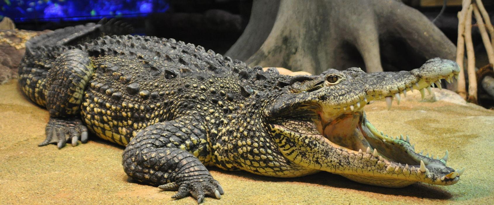 Krokodil på Skansen-Akvariet