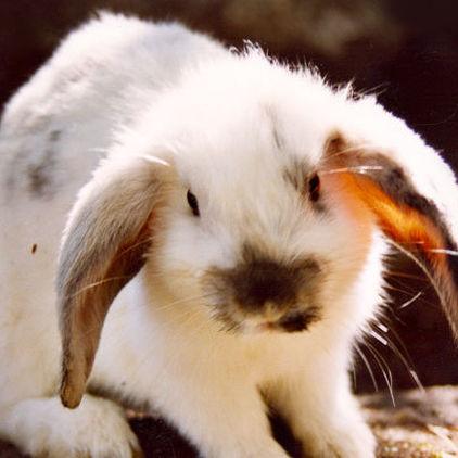 Kanin på Lill-Skansen på Skansen