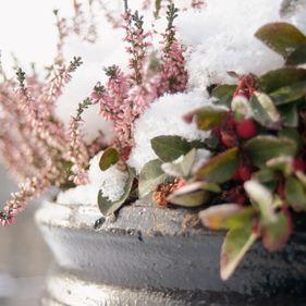 Vinterväxter, Skansen