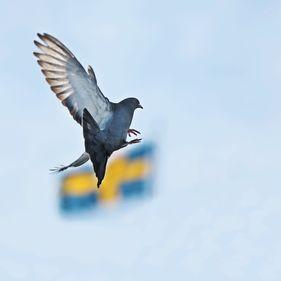 Duva flyger framför svensk flagga