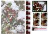 Snow on Berries.