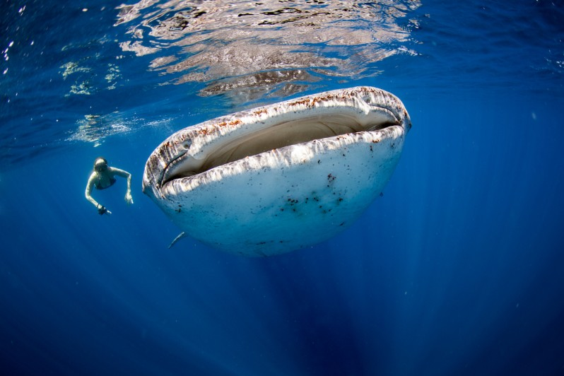 I migliori siti per immergersi con gli squali balena - Bagno con gli squali sudafrica ...