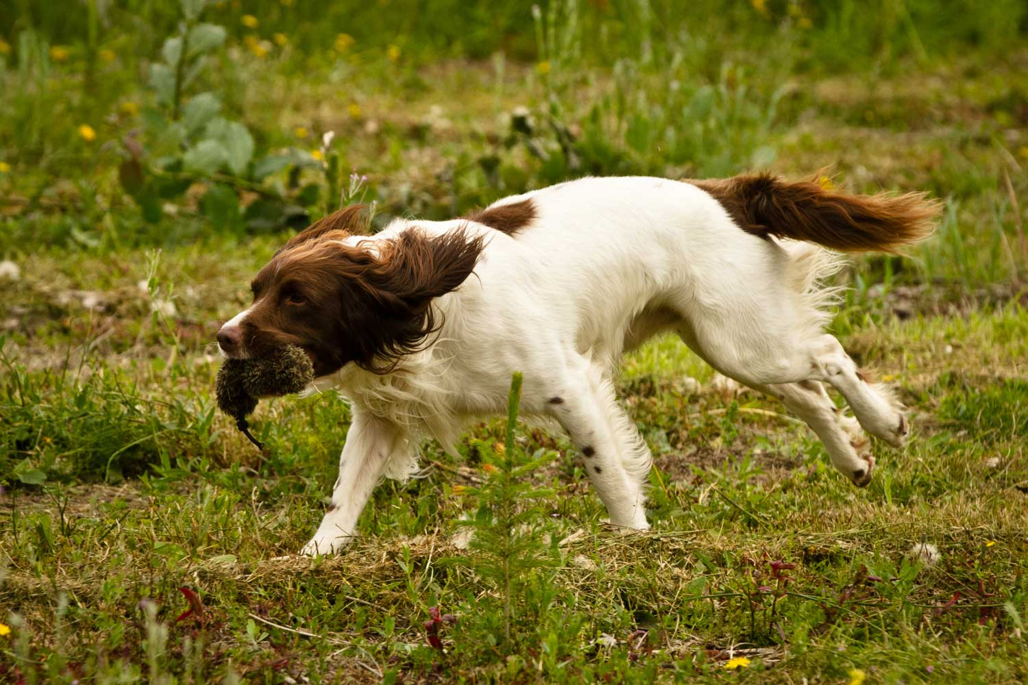 Gun Dog Training Derbyshire
