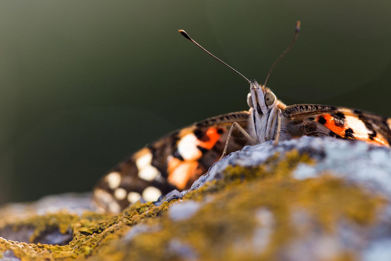 Una imatge de la papallona dels cards